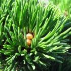 Zwerg-Kugel-Kiefer / Pinus mugo Benjamin