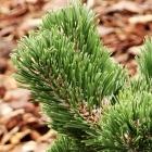 Zwerg-Berg-Kiefer / Pinus mugo Jakobsen